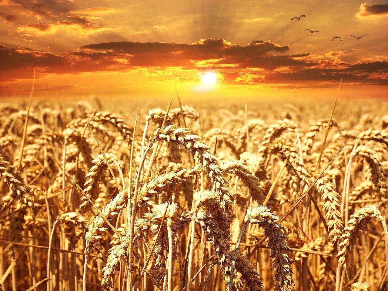 wheat-field-640960_1280.jpg