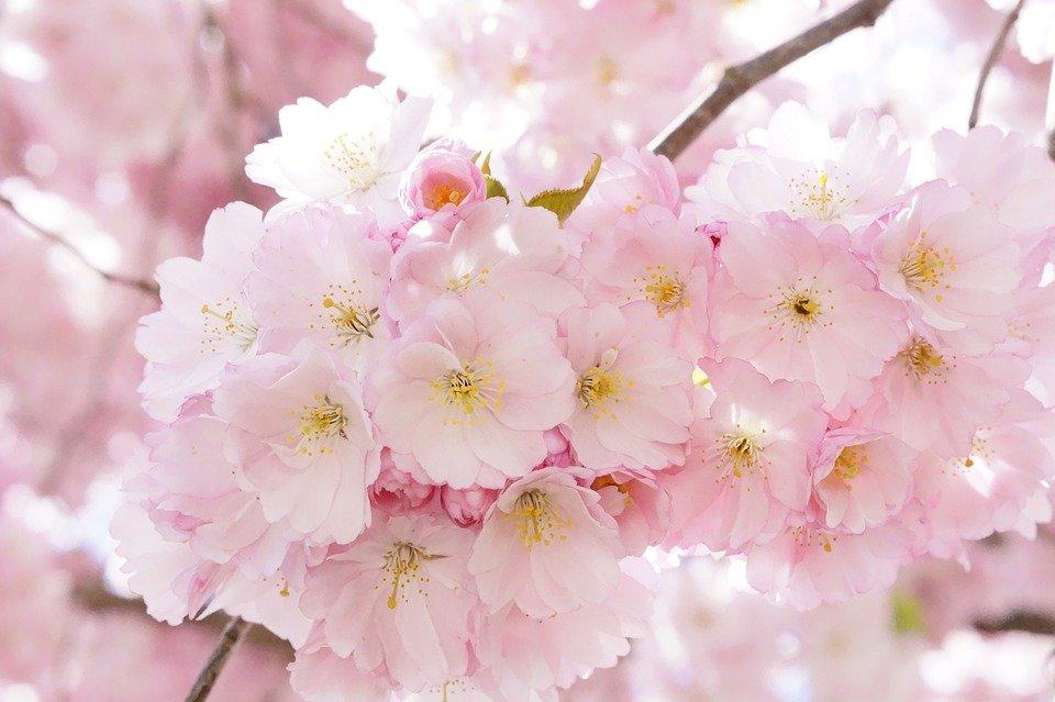 japanese-cherry-trees-724289_960_720